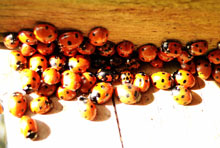 A cluster of ladybirds