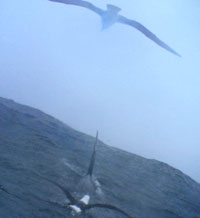 Albatross with killer whale