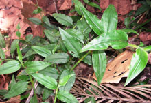 Leaves from the forest herb Aneilema nyasense.