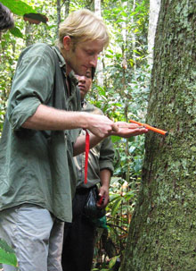 Roel Brienen taking a core sample a Bolivian cedar tree