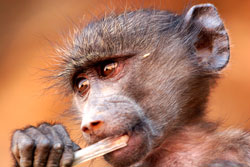 Infant baboon