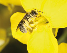 A solitary bee covered with oilseed rape pollen.