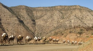 Camels by an Ethiopian roadside