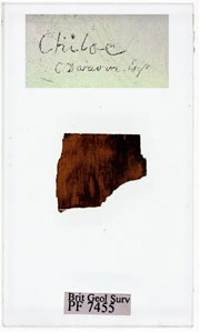 Slide of fossil wood collected by Darwin