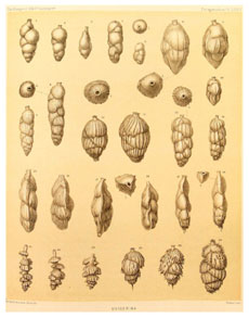 Foraminifera collected during the voyage of HMS Challenger, 1873-76