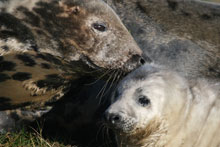 Grey seal mother checking her pup