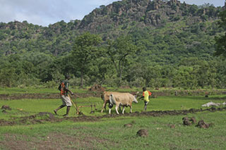 Local farmers ploughing just yards from where the snakes live.
