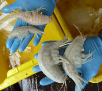 Several supergiant amphipods