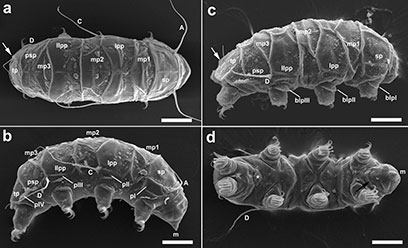 Electron microscope images of the new tardigrade