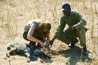 Taking samples from an African wild dog.
