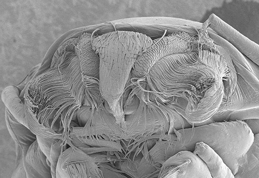 Mouthparts of a mosquito larva