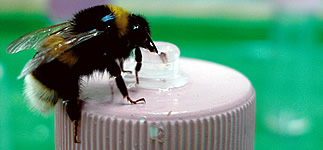 bee on a sucrose feeder