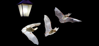 Long eared bat flying by lamp