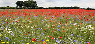 Wildflower meadow  at Swinethorpe
