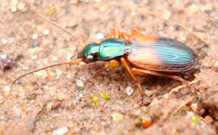 The ground beetle Anchomenus dorsalis.