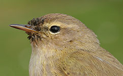 Chiffchaff with pollen around beak