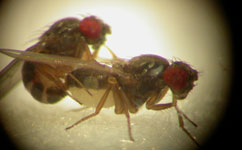 Drosophila pseudoobscura flies