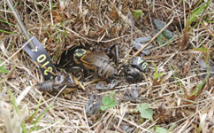 Female field cricket with the remains of a male