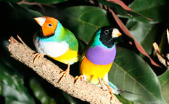 A pair of Gouldian finches