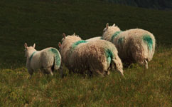 Paint marks on sheep