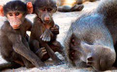 Male baboon with two infants