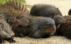 Banded mongooses resting after working hard to take care of their pups