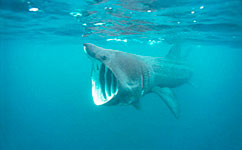 Basking shark feeding