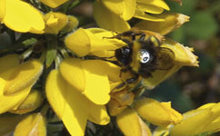 Numbered bee on gorse