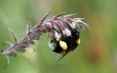 Buff-tail bee