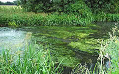 Floating mats of green algae in a river