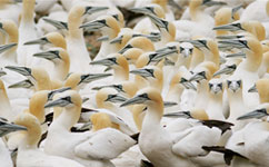 Colony of gannets