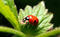 Ladybird eating an aphid