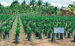 Oil palm saplings