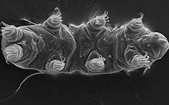 Electron microscope image of a new tardigrade