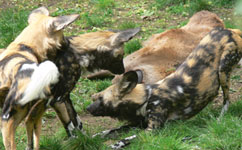 African wild dogs.