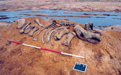 Rhino skeleton laid out