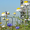 Wild flowers growing on an urban roof